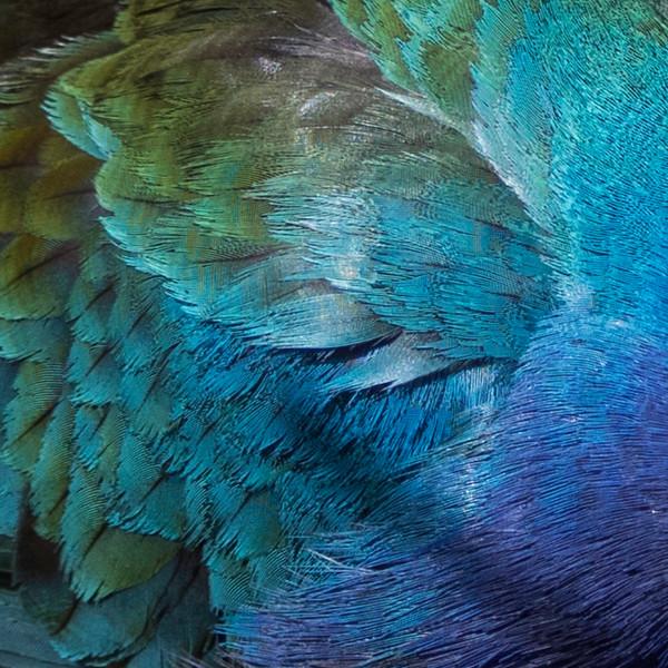 Feather closeup: Purple Gallinule<br /> Location:  Hillsbourough county, FL