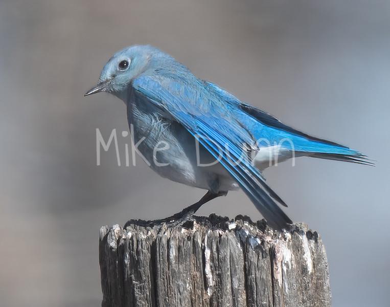 Mountain Bluebird-7
