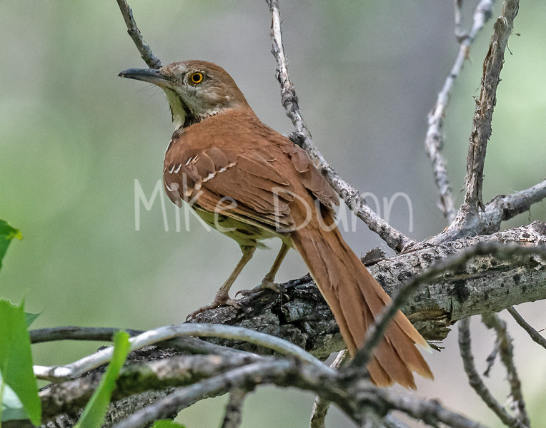Brown Thrasher-12