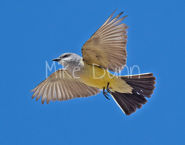 Western Kingbird-14