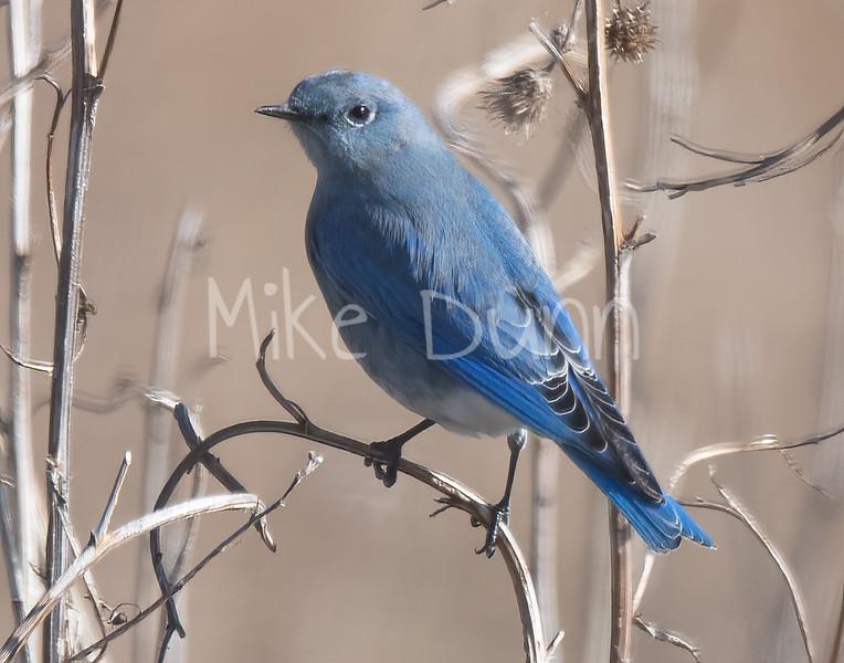 Mountain Bluebird-6