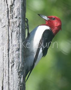 Red-headed Woodpecker-1