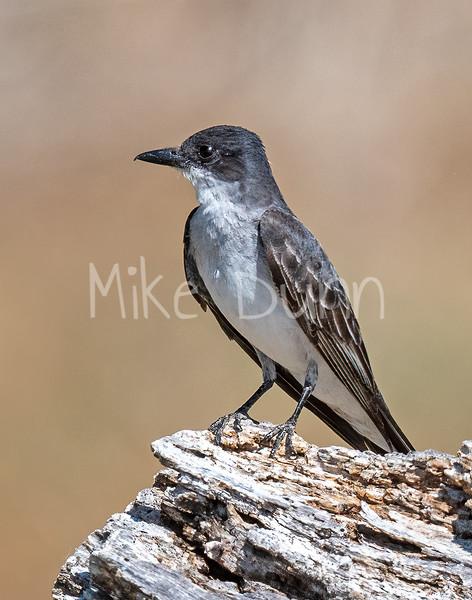 Eastern Kingbird-3