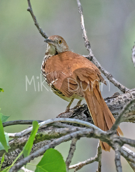 Brown Thrasher-13