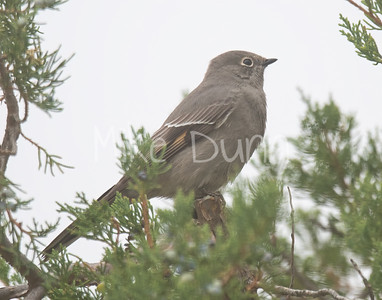 Townsend's Solitaire-2