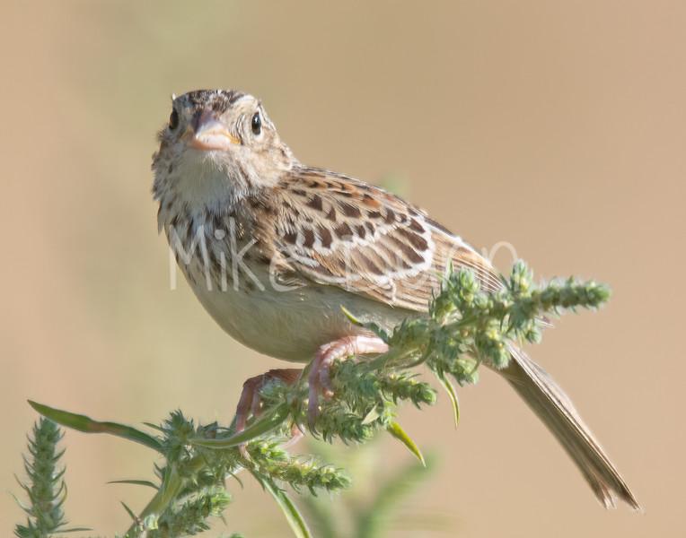 Grasshopper Sparrow-5