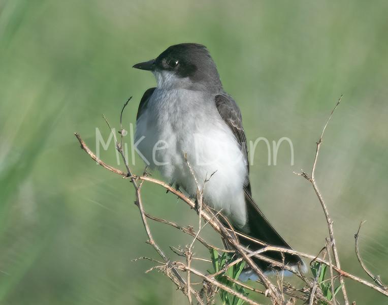 Eastern KIngbird-1