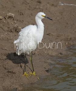 Snowy Egret-4
