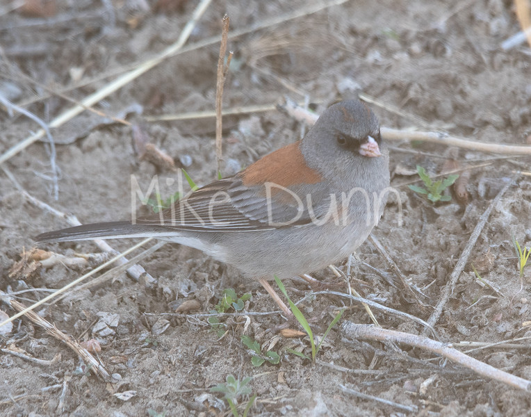 Dark-eyed Junco-5