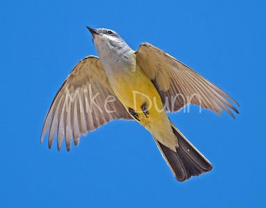 Western Kingbird-12