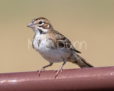 Lark Sparrow-15