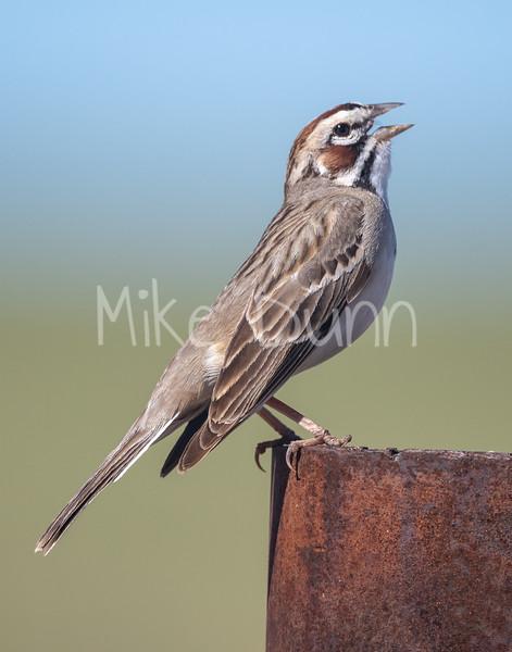 Lark Sparrow-3