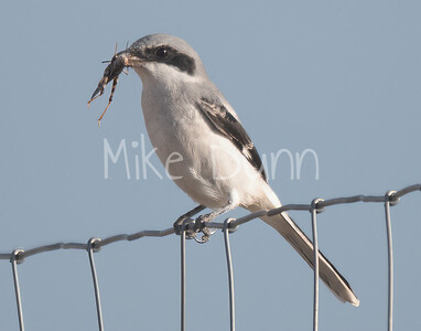 Loggerhead Shrike-7