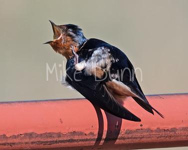 Barn Swallow-5