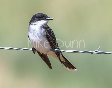 Eastern Kingbird-6