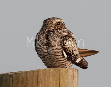 Common Nighthawk-16