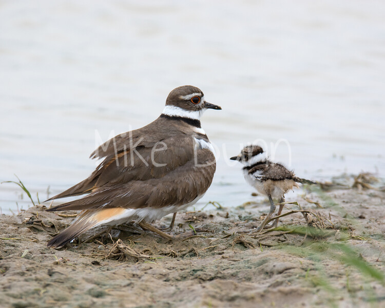 Killdeer-1