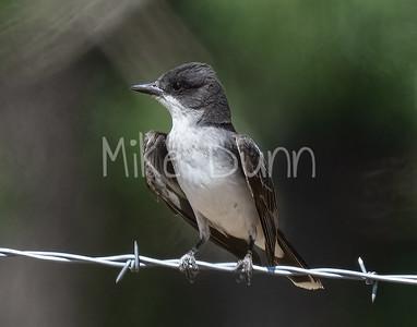 Eastern Kingbird-8