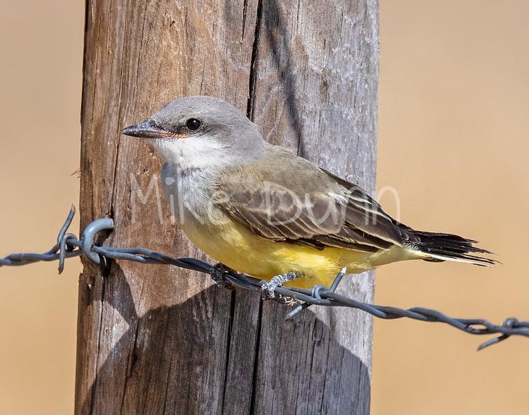 Western Kingbird-10