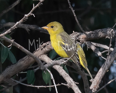 Western Tanager-2