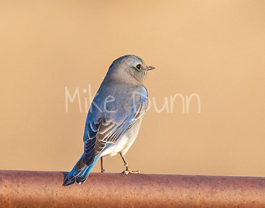 Mountain Bluebird-15