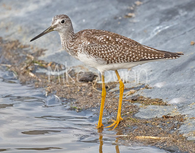 Greater Yellowlegs-2