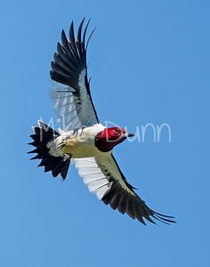 Red-headed Woodpecker-7