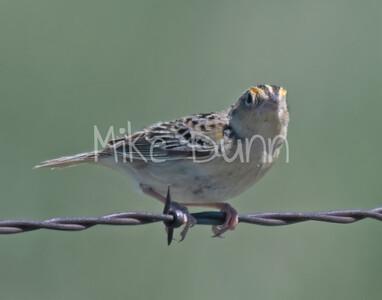 Grasshopper Sparrow-2
