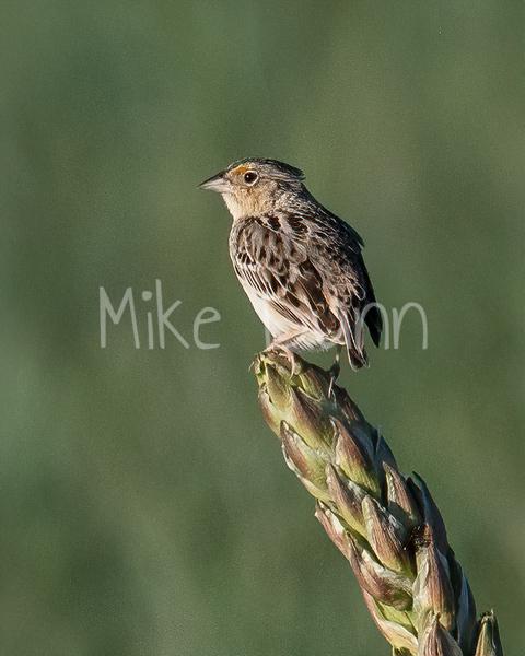 Grasshopper Sparrow-9
