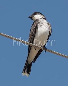 Eastern Kingbird-9
