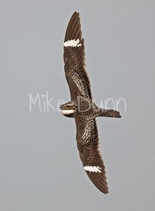 Common Nighthawk-10