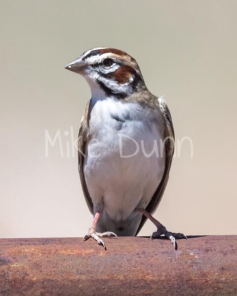 Lark Sparrow-8