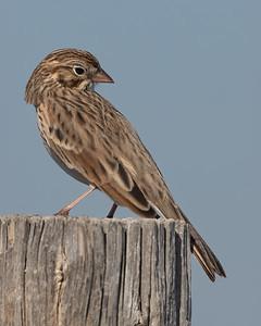 Vesper Sparrow-5