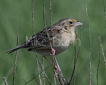 Grasshopper Sparrow-11