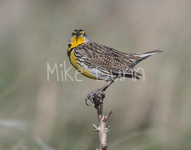 Western Meadowlark-6
