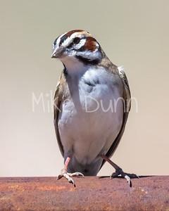 Lark Sparrow-9