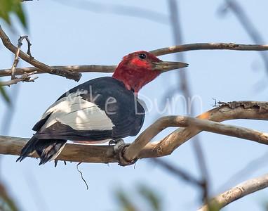 Red-headed Woodpecker-10