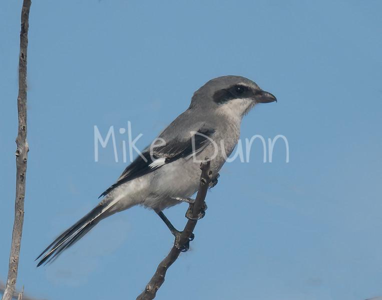 Loggerhead Shrike-9