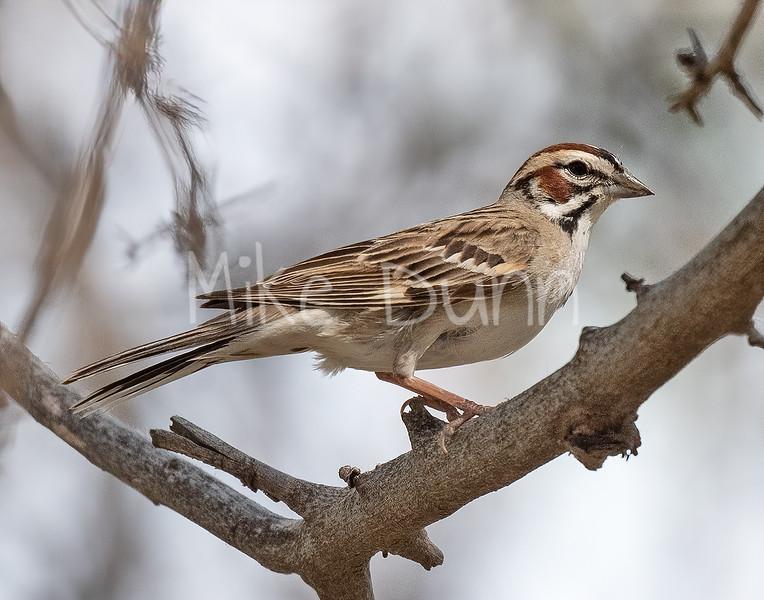 Lark Sparrow-4