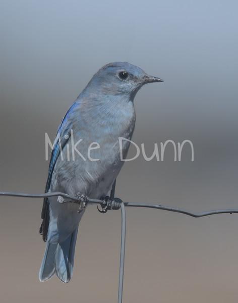 Mountain Bluebird-8