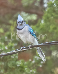 Blue Jay-4