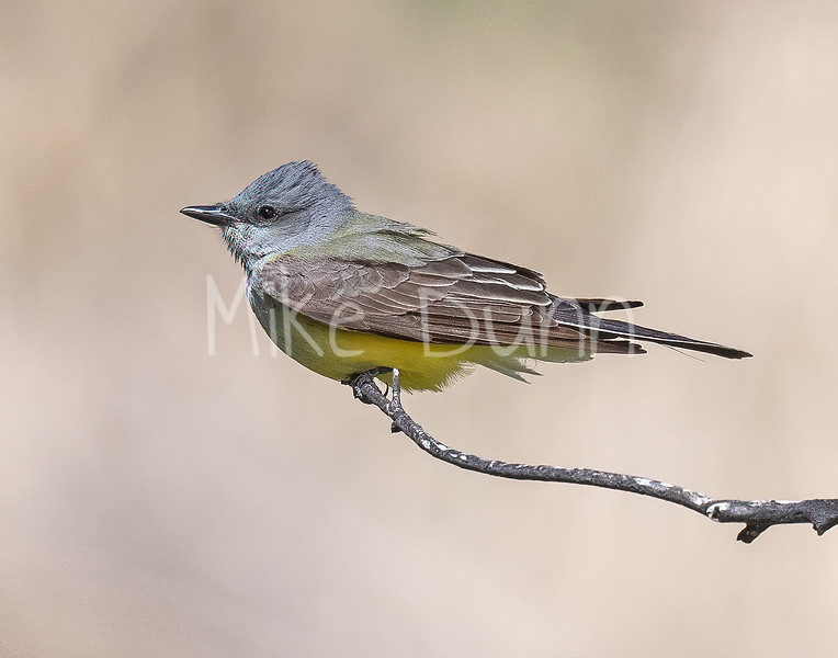 Western Kingbird-7
