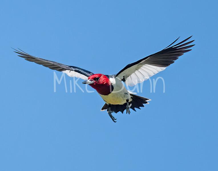 Red-headed Woodpecker-9