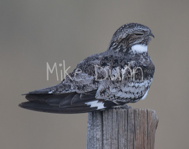 Common Nighthawk-1
