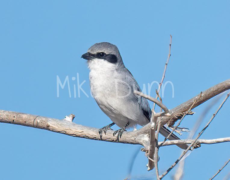 Loggerhead Shrike-18