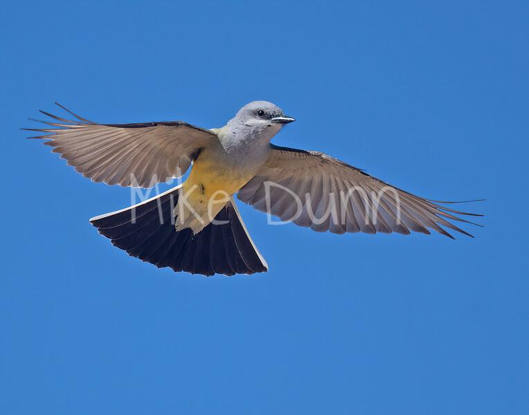 Western Kingbird-8
