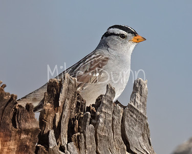 White-Crowned Sparrow-3