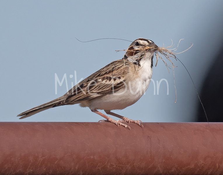 Lark Sparrow-7