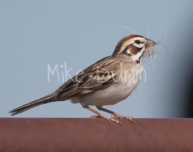Lark Sparrow-6