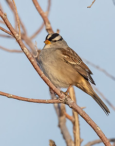 White-Crowned Sparrow-8